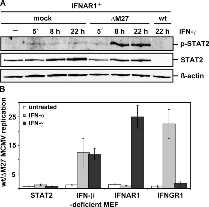 IFN- γ –induced increase of STAT2-P in ΔM27-infected cells and its impact for the inhibition of MCMV replication. (A) IFNAR1-deficient MEFs were either mock infected or infected with ΔM27-MCMV or MCMV-WT (10 PFU/cell each) for 24 h before exposed to 500 U/ml IFN-γ for the indicated time. Equivalent amounts of nucleoplasmic lysates were subjected to SDS-PAGE and analyzed by Western blot for p-Tyr 689 STAT2, and reprobed for STAT2 and β-actin. (B) Comparative analysis of MCMV replication in MEF lacking components of the IFN signaling cascade. The indicated cells were incubated with 500 U/ml IFN-α or 500 U/ml IFN-γ for 48 h or left untreated before being infected with MCMV-WT or ΔM27-MCMV (0.01 PFU/cell each). The efficiency of MCMV replication is expressed as the ratio of virus yield at 96 h p.i., as determined by a standard plaque assay.
