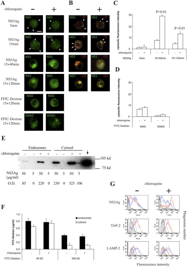 Improvement of soluble antigen export from endosomes into cytosol in chloroquine-treated iDCs. (A and B) iDCs were pulsed/chased with either NS3Ag alone or NS3Ag and TRITC-Tf, in the presence or absence of chloroquine, fixed, and stained at different times with human anti-NS3 alone or with anti-NS3 + rabbit anti–cathepsin D (C and D), followed by staining with the appropriate secondary antibodies. The signal of NS3 alone is green. The signals of double staining of Tf or CD and NS3 are red and green, respectively. The extent of colocalization is shown in yellow after merging. Arrows indicate NS3 enrichment or colocalization with Tf or CD. In control experiments, DCs were incubated for 1 h at 37°C in the presence of 1 mg/ml FITC-dextran with the indicated molecular masses and then fixed. One representative out of three different experiments is shown. (C) Quantitative analysis of the fluorescence intensity of cytosolic NS3Ag in iDCs pulsed/chased with NS3Ag in the presence or absence of chloroquine. (D) Quantitative analysis of the fluorescence intensity of cytosolic FITC-dextran in iDCs pulsed/chased with FITC-dextran of the indicated molecular masses, in the presence or absence of chloroquine. (E) One representative out of three WB analyses on both endocytic- and cytosol-enriched preparations, purified from iDCs, which had been previously pulsed/chased (20′/90′) with the indicated concentrations of NS3Ag, in the presence or absence of chloroquine. The two preparations were then separated by SDS-PAGE and immunoblotted for NS3Ag with the relevant human mAb and a secondary peroxidase-conjugated goat <t>anti–human</t> <t>IgG</t> antibody. NS3Ag alone (↓) was used as positive control. (F) Fluorometric analyses of different FITC-dextrans in endocytic or cytosolic fractions from iDCs pulsed with the indicated FITC-dextrans in the presence or absence of chloroquine. (G) One representative kinetic out of four detected by FC of NS3Ag, TAP-2, or LAMP-2 staining in phagosomes co