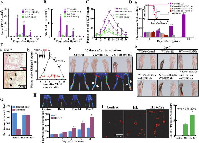 Irradiation-induced angiogenesis is dictated by MMP-9–mediated factor release from mast and stroma cells and incorporation of BM-derived cells. (A–C) HL ischemia was induced in Sl/Sl d and WBB6F1 +/+ mice, followed by 2 Gy IR or no IR ( n = 7). <t>PBMCs</t> were analyzed for the presence of CFU-Cs (A) and CFU-ECs (B). (C) Plasma VEGF was determined ( n = 7/group). (D) HL ischemia was induced in MMP-9 +/+ mice followed by 2 Gy IR. Mice were subdivided into groups receiving neutralizing <t>mAbs</t> against VEGFR-1, VEGFR-2 or a combination of both mAbs. (a) Blood flow was determined. Insert: Percentage of mice showing limb rescue after ligation. (b) Macroscopic pictures taken of ischemic and contralateral limb 7 d after ligation (*P