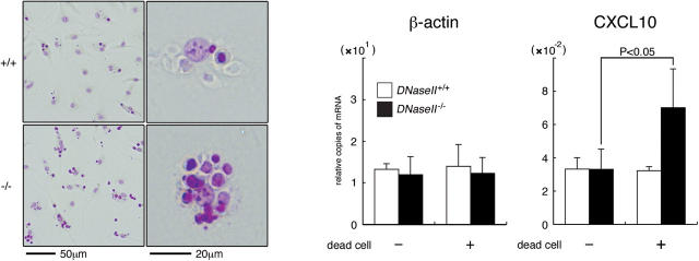 In vitro activation of the CXCL10 gene in macrophages engulfing apoptotic cells. Apoptotic W3/Ildm cells were added to primary macrophages from the DNase II + / + or DNase II − / − fetal liver at a 10:1 ratio, incubated at 37°C for 2 h, and stained with Feulgen. (left panel, left micrograph) Original magnification, 200; bar, 50 μm. A single macrophage carrying apoptotic cells is also shown at a higher magnification in the right micrograph. Original magnification, 400; bar, 20 μm. In the right panels, macrophages from DNase II + / + (open bar) or DNase II − / − (closed bar) fetal liver were cultured with or without apoptotic W3/Ildm cells for 6 h. The β-actin and CXCL10 mRNA levels were determined by real-time PCR, and normalized to the expression level of F4/80 mRNA. Experiments were performed three times, and the mean values are shown with standard deviation (error bars).
