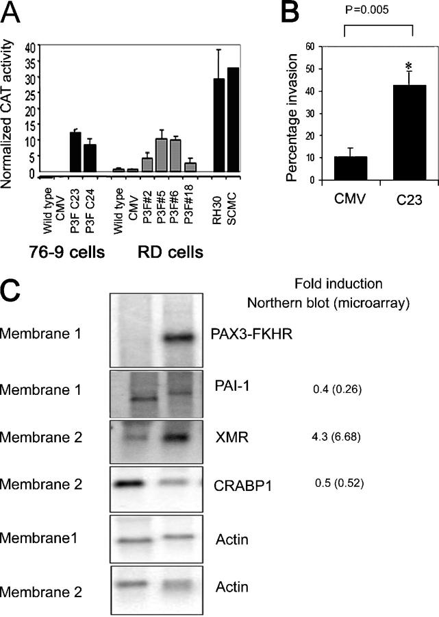 PAX3-FKHR causes both up- and down-regulation of target genes. (A) PAX3-FKHR protein function in 76-9 and RD cells stably transfected with pBK-CMV-P3F as determined by transient transfection assays using the specific PAX3 reporter plasmid PRS-9 linked to CAT. This contains six direct repeats of the PAX3 paired domain and homeodomain consensus sequences upstream of a CAT reporter. CAT activity is plotted in arbitrary units ± SEM of triplicate samples. This assay is representative of four separate experiments. (B) Matrigel invasion assay to show that PAX3-FKHR increases the invasive ability of 76-9 cells. Percent invasion was calculated as: (number of invasive cells / total number of cells) × 100. Mean values ± SEM of quadruplicate samples are plotted. PAX3-FKHR–expressing 76-9–P3F-C24 cells (and 76-9–P3F-C23 cells; not depicted) were significantly more invasive than 76-9–CMV cells. *, P