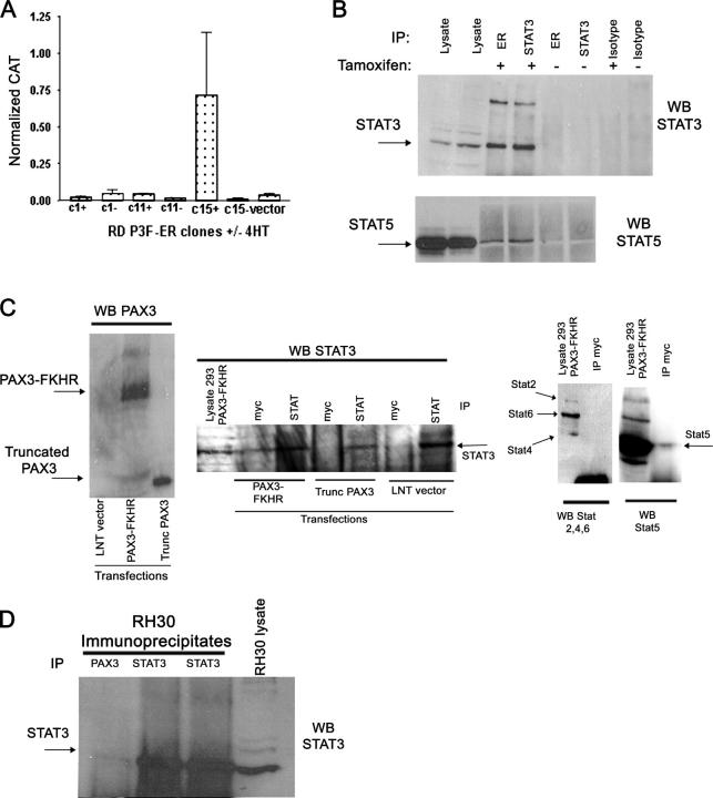 PAX3-FKHR interacts with STAT3. (A) Transient transfection assay using PRS9-CAT reporter showing specific inducible activity of PAX3-FKHR in clone 15 on addition of 4HT. Error bars = SEM of triplicate transfections. (B) Coimmunoprecipitation of STAT3 with estrogen receptor–tagged PAX3-FKHR is seen only in presence of 4HT. The IP is representative of three separate experiments. The high molecular mass band of ∼200 kD shown here was not seen in all replicate experiments. (bottom) Replica blot probed with STAT5. (C) Immunoprecipitations from 293T cells transfected with PAX3-FKHR, truncated PAX3-FKHR lacking FKHR regions, or empty vector. (left) Lysates are detected with an anti-PAX3 antibody. Immunoprecipitates are detected with an anti-STAT3 antibody. The IP data are representative of three separate experiments. (right) Replica blots from the same transfections probed with antibodies against STATs 2 (113 kD), 4 (81 kD), 5 (95 kD), and 6 (100 kD). No staining with STATs 2, 4, or 6 was observed when the membrane was subject to longer exposures. (D) Coimmunoprecipitation experiment to show that an anti–NH 2 terminus PAX3 antibody and anti-STAT3 antibody are both able to precipitate STAT3 from RH30 cells. The blot is representative of two independent experiments.