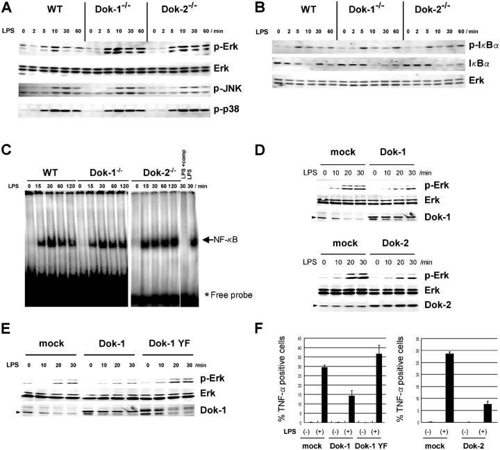 Dok-1 and Dok-2 are negative regulators of Erk upon TLR4 signaling. (A) Total Erk, activated Erk (p-Erk), JNK (p-JNK), or p38 MAP kinase (p-p38) was examined with immunoblotting upon LPS treatment of BM-derived macrophages from mice. (B) NF-κB activation was assessed by immunoblotting for IκBα or its phosphorylation (p-IκBα) upon LPS treatment of macrophages in A. Control immunoblotting for Erk was performed. (C) NF-κB activity was examined by gel mobility shift assay upon LPS treatment of peritoneal macrophages. Positions of the NF-κB complex and the free probes are indicated. The specificity was determined by adding excess amounts of unlabeled competitor of the probe (LPS + comp) or not (LPS) to nuclear extracts of wild-type macrophages. (D) Activated Erk (p-Erk), total Erk, Dok-1, or Dok-2 was examined with immunoblotting upon LPS treatment of RAW 264.7 cells (mock) or those expressing exogenous Dok-1 (top) or Dok-2 (bottom). An arrowhead indicates the position of endogenous Dok-1 or Dok-2. (E) RAW 264.7 cells (mock) or those expressing exogenous Dok-1 or a Dok-1 mutant (Dok-1 YF) were examined as in D. (F) RAW 264.7 cells (mock) or those expressing exogenous Dok-1, Dok-1 YF, or Dok-2 were cultured in the presence (+) or absence (−) of LPS, and then the percentage of intracellular TNF-α + cells was determined with flow cytometry. SD is from triplicate experiments.