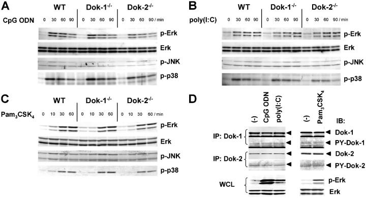 Dok-1 and Dok-2 are irrelevant to TLR9, TLR3, or TLR2 signaling. (A–C) Activation of each MAP kinase was examined as in Fig. 2 A upon CpG ODN, poly(I:C), or Pam 3 CSK 4 treatment of BM-derived macrophages from mice. (D) Dok-1 or Dok-2 immunoprecipitates (IP) were subjected to immunoblotting (IB) for Dok-1, Dok-2, or phosphotyrosine (PY-Dok-1 or PY-Dok-2) upon CpG ODN, poly(I:C), or Pam 3 CSK 4 treatment of wild-type peritoneal macrophages for 30 min. Whole cell lysates (WCL) from these macrophages were subjected to immunoblotting for activated Erk (p-Erk) or total Erk as controls.