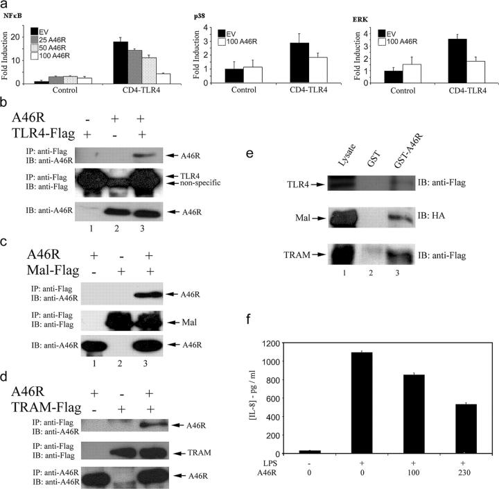 A46R inhibits TLR4 signaling and interacts with TLR4, Mal, and TRAM. (a) HEK 293 cells were transfected with 50 ng CD4-TLR4, 25–100 ng A46R, or pcDNA3.1 (EV) and the NF-κB (left), p38 (middle), or ERK (right) reporter plasmids as indicated. Cells were harvested 24 h after transfection, and luciferase reporter gene activity was measured. (b–d) HEK 293T cells were transfected with A46R and Flag-TLR4 (b), Flag-Mal (c), or Flag-TRAM (d) as indicated. After 24 h, lysates were subject to immunoprecipitation, SDS-PAGE, and immunoblotting with the indicated antibodies. (e) HEK 293T cells were transfected with 8 μg of Flag-TLR4 (top), Flag-Mal (middle), or Flag-TRAM (bottom). After 24 h, lysates were incubated with GST-A46R (lane 3) or GST alone (lane 2), and together with whole cell lysate (lane 1), were analyzed by SDS-PAGE and immunoblotting with the indicated antibodies. (f) HEK-TLR4 cells were transfected with the indicated amounts (ng) of A46R 24 h before stimulation with 1 μg/ml LPS, and 24 h after stimulation, supernatants were harvested and assayed for IL-8 by ELISA.