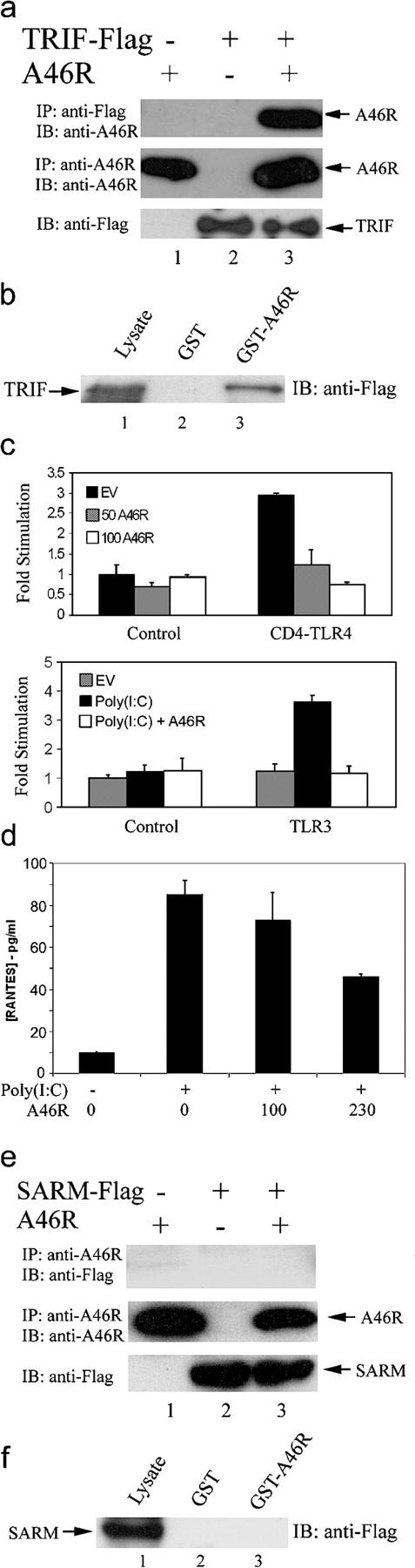 A46R associates with TRIF and inhibits TRIF-dependent signaling and gene induction. (a) HEK 293T cells were transfected with A46R and Flag-TRIF as indicated. After 24 h, lysates were subject to immunoprecipitation, SDS-PAGE, and immunoblotting with the indicated antibodies. (b) HEK 293T cells were transfected with 8 μg Flag-TRIF. After 24 h, lysates were incubated with GST-A46R (lane 3) or GST alone (lane 2), and together with whole cell lysates (lane 1), were analyzed by SDS-PAGE and immunoblotting with anti-Flag Ab. (c) HEK 293 cells were transfected with the IRF3 reporter plasmids (as described in Materials and methods) with either 50 ng CD4-TLR4 (top) or 0.5 ng TLR3 (bottom) and 50–150 ng A46R or pcDNA3.1 (EV) as indicated. (bottom) Cells were stimulated with 25 μg/ml poly(I:C) 6 h before harvesting. Luciferase activity was measured after 24 h. (d) HEK-TLR3 cells were transfected with the indicated amounts (ng) of A46R 24 h before stimulation with 25 μg/ml poly(I:C), and 24 h after stimulation supernatants were harvested and assayed for RANTES by ELISA. (e and f) As in a and b, except Flag-SARM was transfected instead of Flag-TRIF.