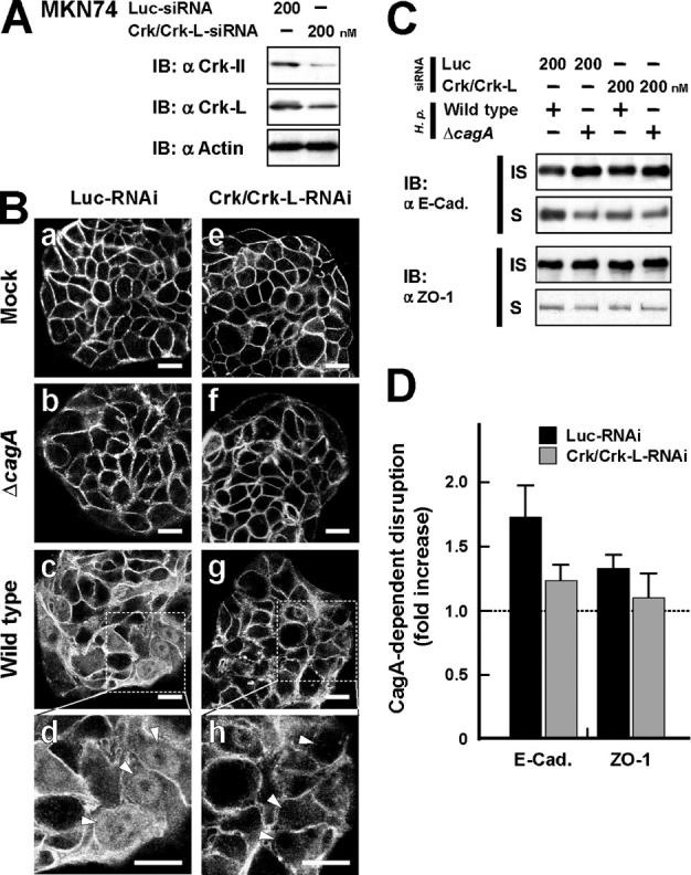 Crk stimulates CagA-dependent breakdown of cell–cell adhesion. (A) Lysates from MKN74 cells transfected for 72 h with Luc-siRNA or Crk-siRNA at 200 nM were subjected to immunoblotting with the indicated antibodies. (B) MKN74 cells treated for 72 h with Luc-RNAi (a–d) or Crk/Crk-L-RNAi (e–h) were mock infected (a and e) or infected with the H. pylori Δ vacA /Δ cagA (b and f) or Δ vacA strain (c, d, g, and h) at an MOI of 20. The cells were fixed 48 h after infection and stained with anti–β-catenin antibody. White arrowheads (d and h) point to the nuclei of the cells. Note that Δ vacA H. pylori strains were used to reduce damage to the infected cells (references 1 , 60 ). Bar, 20 μm. (C) NP-40–soluble (S) and –insoluble fractions (IS) were prepared from H. pylori –infected cells in B, and the fractions were subjected to immunoblotting with the indicated antibodies. (D) The blots of NP-40–soluble fractions in C were quantified by densitometry. The data are presented as fold increase in amounts of Δ vacA compared with that of Δ vacA /Δ cagA under the same RNAi conditions. The data shown represent means and SDs of triplicate experiments.