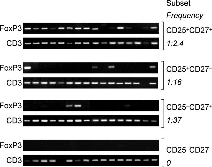 FoxP3 mRNA in CD4 + CD25 + T cell subsets in samples containing limiting cell numbers. CD4 + T cell subsets were sorted according to the expression of CD25 and CD27 and resorted, collecting 16 replicates of five cells each that were subsequently analyzed for expression of FoxP3 by PCR. Amplification of CD3 was used as control.