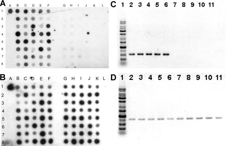 Dot-blot hybridization of genomic DNA extracted from 40 invasive strains (lanes B–F) and 40 noninvasive strains (lanes G–K). Dot A1 is NTUH-K2044 as the positive control. Dot L1 is the PCR product of cepA (reference 29 ) as the negative control. (A) Hybridization with magA probe. All the invasive strains shown here were positive. The noninvasive strains at dots 3G, 3H, 4H, 6G, 6H, 7G, 7H, 7I, and 8H were positive. (B) Hybridization with 23S rRNA gene probe as internal positive control. (C) PCR for magA . (lane 1) Marker. (lanes 2–6) 5 positive strains. (lanes 7–11) 5 negative strains. (D) PCR for 23S rRNA gene as control.
