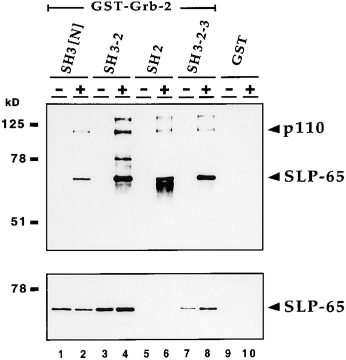 The NH 2 -terminal SH3 domain of <t>Grb-2</t> is sufficient to bind SLP-65. Grb2-binding proteins were purified from lysates of unstimulated (lanes 1 , 3 , 5 , and 7 ) and pervanadate/H 2 O 2 -stimulated J558Lμm3 cells (lanes 2 , 4 , 6 , and 8 ) using <t>GST</t> fusion proteins containing different domains of Grb-2: NH 2 -terminal SH3 domain (lanes 1 and 2 ), NH 2 -terminal SH3 plus SH2 domain (lanes 3 and 4 ), SH2 domain (lanes 5 and 6 ), and complete Grb-2 (lanes 7 and 8 ). GST was used as a control (lanes 9 and 10 ). Proteins were detected by antiphosphotyrosine and anti–SLP-65 immunoblotting ( top and bottom , respectively).