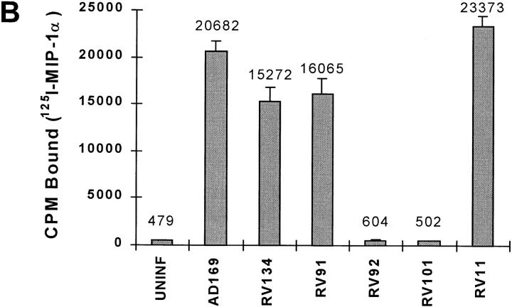 MIP-1α binding by cells infected with HCMV mutants. Uninfected or HCMV-infected HFF cells (multiplicity of infection 2.5) were analyzed for their ability to bind 125 I-labeled MIP-1α at 72 h pi. RV92-2 and RV92-15 are independent isolates containing the identical US28 deletion. In some experiments, excess unlabeled MIP-1α (200 nM final concentration) was used ( AD169 + MIP - 1 α). cpm of bound radiolabeled MIP-1α are given above each bar.