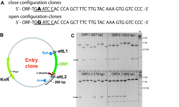 Cloning strategy for the simultaneous generation of entry clones in open and closed configuration . A : Sequences of entry clones 3' of the ORF either containing or not containing a stop codon. The sequences correspond to the reverse primer sequences of 2-step PCR. In presence of an A at the degenerated position, a stop codon is created and the Bam HI site (underlined) destroyed. In contrast, the inclusion of a G generates a Bam HI site and results in a translational read-through. B : Schematic presentation of the entry clone map. 'for' and 'rev' indicate the binding sites of the colony PCR primers. The degenerated position is indicated by the arrow. C : Bam HI colony-PCR restriction digest of eight independent colonies resulting from BP cloning of four different ORFs amplified using degenerated reverse primers. The arrows mark the additional band which appears in presence of the Bam HI recognition sequence, indicating that the ORF does not contain a stop codon. ORF 4 contains an internal BamHI site indicated by the appearance of a band of about 100 bp. 'M' indicates the molecular weight marker lanes.