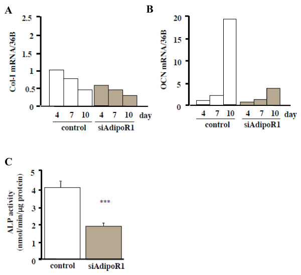 Effects of siRNA-AdipoR1 transfection on the differentiation of MC3T3-E1 cells. Total RNA was collected at 4, 7, 10 days after siRNA-AdipoR1 transfection. Col-I (A) and OCN (B) mRNA expression were decreased by blocking the receptor expression. Results are expressed as fold increase over the control values at 4 days. The result was the representative of five different experiments. (C) ALP activity of siRNA-AdipoR1-transfected MC3T3-E1 cells. ALP activity was evaluated biochemically. ALP activity was significantly decreased compared to the control (*** p