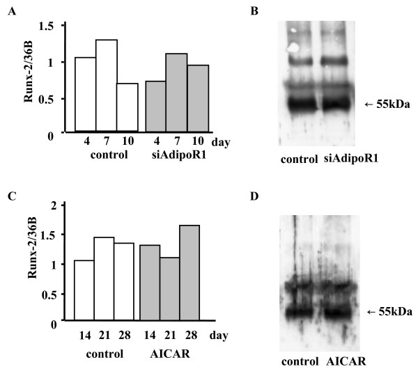 Effects of siRNA-AdipoR1 transfection or an AICAR treatment on Runx-2 mRNA and protein expressions in MC3T3-E1 cells. (A and B) Total RNA was collected at 4, 7, 10 days after siRNA-AdipoR1 transfection, and cell lysate was collected at 7 days after transfection. Real-time PCR and immunoprecipitation were performed as described in MATERIALS AND METHODS. Neither Runx-2 mRNA (A) nor its protein (B) expressions were changed by blocking the receptor expression. (C and D) AICAR (0.5 mM), an AMP kinase stimulator, was added after the cells reached confluency. Total RNA was collected at 14, 21, 28 days, and cell lysate was collected at 14 days. Neither Runx-2 mRNA (C) nor its protein (D) expressions were changed by AICAR. The result was the representative of five different experiments.