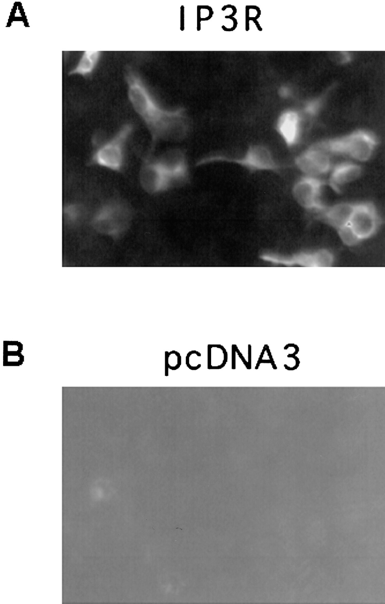 Immunocytochemical staining of transfected HEK-293 cells with the anti–InsP 3 R-I antibody. HEK-293 cells were transfected with InsP 3 R-pcDNA3 clone ( A ) or pcDNA3 vector alone ( B ). Expressed InsP 3 R-I receptors were detected by immunocytochemical staining using T 443 antibody and rhodamine-conjugated anti–rabbit IgG. Immunostaining and fluorescent imaging was performed as described in materials and methods using 20× objective. Fluorescent signal was monitored on rhodamine channel.