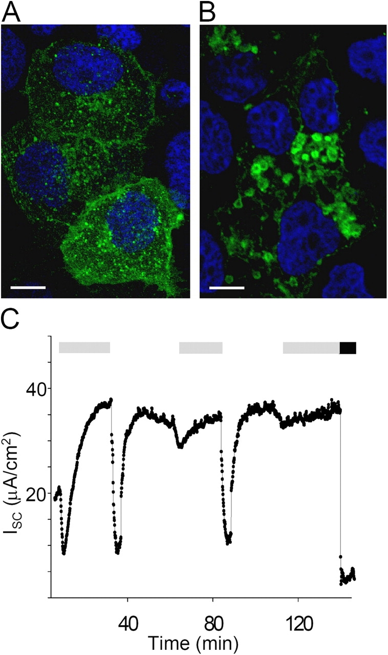 Chloroquine treatment. (A and B) Fluorescence micrographs from mCCD cells transiently expressing <t>GFP-Endo</t> to label endocytic compartments. Typical punctuate fluorescent staining pattern of endosomes (green) in untreated cells (A) collapsed to distended coalesced structures (B) in chloroquine-treated cells (white bar = 5 μm, nuclei labeled blue). (C) Representative I SC trace from chloroquine-treated epithelium with repeated forskolin stimulation (gray bar). Note large dips in trace are the result of extended wash protocol to ensure total removal of forskolin from basal chamber. Addition of amiloride (black bar) following the third stimulation demonstrated that the majority of recorded I SC was due to ENaC.