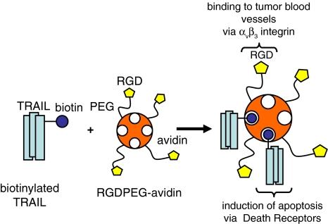 Schematic representation of RGD-avidin:TRAIL complexes. Soluble recombinant human TRAIL was modified with biotin groups via two different reagents that either react at lysine or methionine residues. Biotinylated TRAIL was complexed to an avidin-based targeting device equipped with approximately 5 RGD-peptide ligands per avidin molecule. A hydrophilic PEG-linker was used to append the RGD-peptides to avidin. The assembled complexes can bind to tumor blood vessels via RGD//α v β 3 -integrin interactions, while apoptosis can be induced via TRAIL/DR ligation