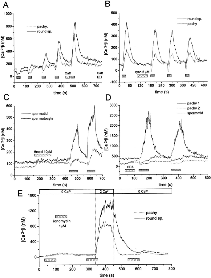 Effects of agents affecting Ca 2+ mobilization from intracellular stores. ( A ) Ca 2+ recordings obtained from a pachytene spermatocyte and a round spermatid upon repeated applications of NH 4 Cl. When indicated, caffeine (10 mM) was applied from a second puffer pipette. Caffeine neither induced Ca 2+ rises in spermatogenic cells nor affected their responses to subsequent NH 4 Cl applications. ( B ) In another cell pair, 5 μM ryanodine was also ineffective as a Ca 2+ release agent. Although the responses to NH 4 Cl diminished slightly after ryanodine exposure, this result was not observed in other cells tested. ( C ) The effects of 10 μM thapsigargin were tested in a round spermatid and a pachytene spermatocyte. The figure is representative of more than 12 cells similarly examined. Notice that only the relatively less differentiated spermatocyte showed a modest Ca 2+ rise. ( D ) Effects of cyclopiazonic acid ( CPA ) on resting Ca 2+ levels and responses to alkalinization in three spermatogenic cells. CPA induced small Ca 2+ rises in both pachytene spermatocytes, but not in the round spermatid. Responses to NH 4 Cl after incubation with thapsigargin or CPA appear similar to those of untreated cells. ( E ) Effects of ionomycin. When two spermatogenic cells were exposed to 1 μM ionomycin without external Ca 2+ , they exhibit small Ca 2+ rises, suggesting that the Ca 2+ content of the intracellular reservoirs is low. In contrast, the same stimulus induced a large increase of intracellular Ca 2+ when external medium was switched to one containing normal external [Ca 2+ ]. This elevation is likely due to plasmalemmal Ca 2+ influx through ionomycin pores. Reapplication of ionomycin without external Ca 2+ after such a large Ca 2+ load is still unable to release a substantial amount of Ca 2+ .