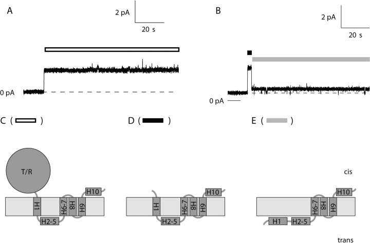 Comparison of single channels formed by whole colicin Ia and its carboxy-terminal domain ( Kienker et al., 2000 ). (A) A whole colicin Ia channel opened at +50 mV with its characteristic, relatively high conductance (39 pS) and, as is typical at this voltage, stayed at this level. (B) A C-domain channel (residues 438–626) opened at +50 mV with a comparable conductance (44 pS), but then dropped to a state of smaller conductance (7 pS). (C) Schematic model of the whole colicin Ia channel in its open state, with four membrane-spanning segments. The 10 α-helices of the C-domain are designated H1–H10; T/R represents the upstream T and R domains. The part of H1 spanning the membrane is roughly from residues 451–467. (D) Model of the C-domain channel in its transient, higher conductance state, also with four membrane-spanning segments. (E) Model of the C-domain channel in its small-conductance open state, with only three membrane-spanning segments, and helix H1 translocated across the membrane. The white bar in A indicates the open channel state that is diagrammed in C. In B, the black bar indicates when the channel is in the transient open state of D, and the gray bar indicates when it is in the small-conductance open state of E. The zero-current level in A and B is labeled 0 pA. There are two small-conductance channels already open at the beginning of the record in B. The solution on both sides of the membrane for A and B was 1 M KCl, 5 mM CaCl 2 , 1 mM EDTA, 20 mM MES, pH 6.2.