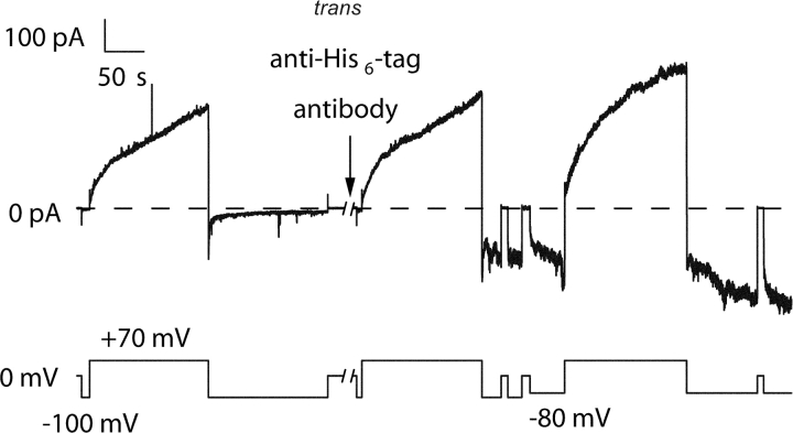 The effect of trans anti–His 6 -tag antibody on channels formed by C-domain with a peptide U stopper and an amino-terminal His 6 -tag. Before the start of the record, 56 ng of C-domain with a peptide U stopper and an amino-terminal His 6 -tag were added to the cis compartment. Normal gating was observed, with the conductance turning on at +70 mV and off at voltages from −50 to −100 mV. During the 2-min break in the record, 2 μg of anti–His 6 -tag antibody were added to the trans compartment. A new conductance rapidly developed that turned on at negative voltages (−100 or −80 mV) and off at 0 mV or positive voltages—the reverse of the normal voltage dependence. This demonstrates that the amino-terminal His 6 -tag was accessible to trans antibody, and indicates that the peptide U stopper is translocated to the trans side. The solution on both sides of the membrane was 100 mM KCl, 5 mM CaCl 2 , 1 mM EDTA, 20 mM MES, pH 6.2. The record was filtered at 30 Hz.
