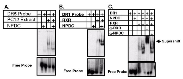 NPDC-1 Alters RARβ••••α and RXRα DNA binding properties. Oligonucleotides corresponding to the consensus RARβ•RARE (DR-5: A) or the consensus RXRα RARE (DR-1: B C) were end-labeled with 32- P by T4 polynucleotide kinase according to the manufacture's instructions. The resultant DNA binding probes were incubated with PC12 lysate (A), recombinant NPDC-1 and recombinant RXRα (B C) as indicated. DNA:protein complexes were resolved on non-denaturing PAGE gels which were subsequently exposed to Kodak Xar-5 film. In C, the presence of NPDC-1 within the RXR gel-shift complex was assayed by supershift. Antibodies specific for either NPDC-1 or RXR were used to identify proteins present in the complex.