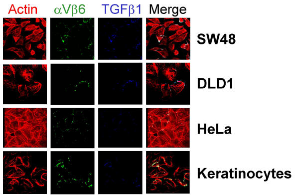 Colocalization of TGFβ 1 , α V β 6 integrin and the cytoskeleton. 10,000 cells(SW48, DLD1, HeLa, keratinocytes) were cultured on glass coverslips in DMEM supplemented with 17% of heat inactivated fetal bovine serum and stimulated with 10 nM of mature TGFβ 1 (from R D Systems) for ten minutes. After preparation of the cytoskeletal fraction by Triton-X100 extraction [ 10 ], slides were stained using Alexa Fluor 680 goat anti-mouse IgG (Molecular Probes, Eugene, OR) for actin (sc-8432, Santa Cruz), Alexa Fluor 488 donkey anti-rabbit IgG (Molecular Probes) for α V β 6 integrin (sc-6617 and sc-6632), and Alexa Fluor 350 donkey anti-rabbit IgG (Molecular Probes) for TGFβ 1 (sc-146) labeling and viewed using a Zeiss LSM-510 confocal microscope [ 10 ]. Magnification 1000 ×.