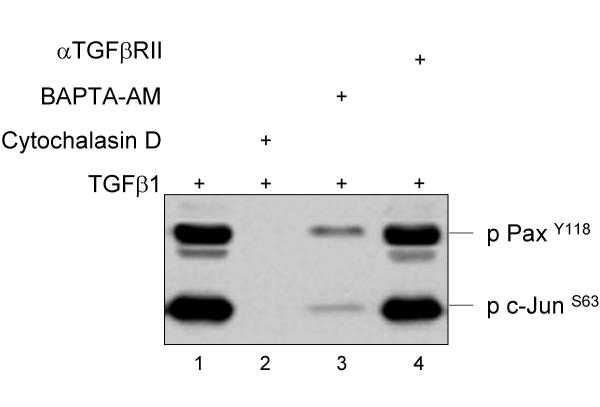 Paxillin and c-Jun are associated with focal adhesions. BxPC-3 cells were stimulated with 10 nM of mature TGFβ 1 for ten minutes followed by preparation of the Triton-X100 nonsoluble fraction and precipitation with α V β 6 integrin antibodies. The precipitate was then re-precipitated with anti-FAK antibodies (sc-1688) and analyzed with antibodies against p-Paxillin Y118 (2541, Cell Signaling) and p-c-Jun S63 (9621, Cell Signaling). In part, the cells were preincubated with a TGFβ-RII antibody (Santa Cruz), BAPTA-AM and Cytochalasin D, respectively [ 10 ].