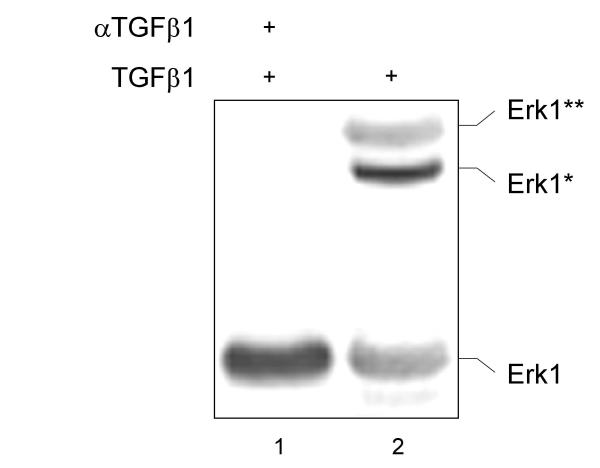 Erk1 is associated with focal adhesions. BxPC-3 cells were stimulated with 10 nM of mature TGFβ 1 for ten minutes followed by preparation of the Triton-X100 nonsoluble fraction and precipitation with α V β 6 integrin antibodies. The precipitate was then re-precipitated with anti-FAK antibodies (sc-1688) and analyzed with an Erk1 antibody (sc-93). In part, the cells were preincubated with a TGFβ 1 antibody [ 10 ].
