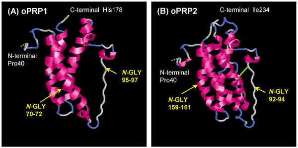 The predicted 3D structures of mature (A) oPRP1 and (B) oPRP2 proteins . The 3D structures were predicted by FAMS software. The oPRP1 structure was constructed in the Pro40-His178 region. The oPRP2 structure was constructed in the Pro40-Ile234 region. Disulfide bonds are shown as light green solid lines, predicted disulfide bonds as light green dotted lines. N -GLY indicates the potential N -glycosylation site.