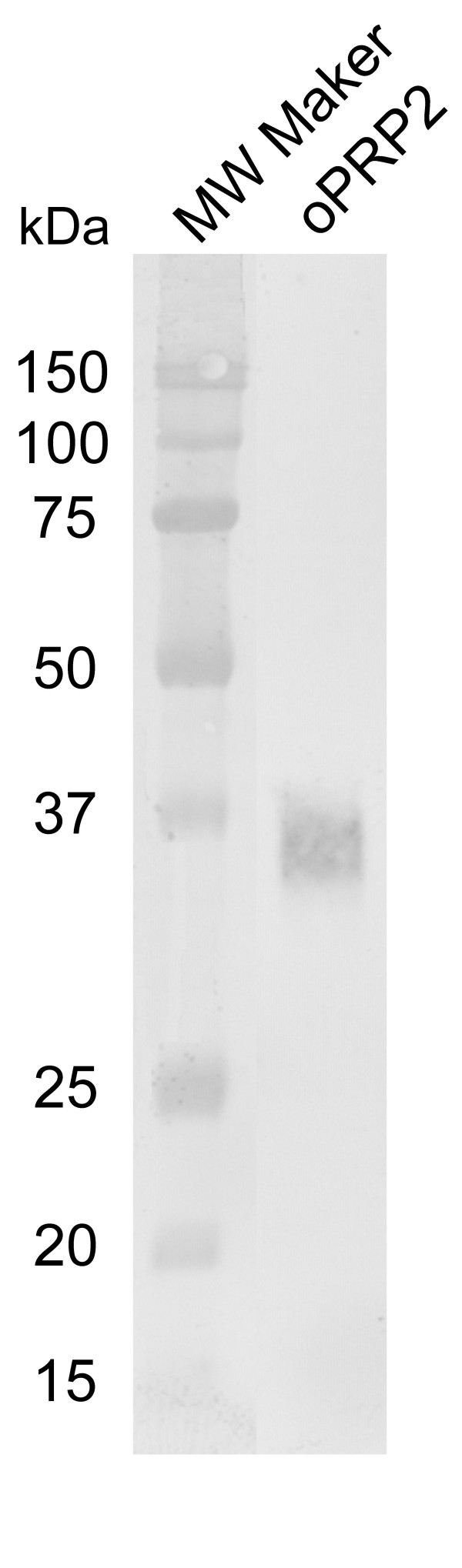 Western blot analysis of recombinant FLAG-tag fusion oPRP2 protein . Conditioned media from HEK 293 cells transiently transfected with each gene were collected, and the purified proteins (1 ng) were loaded on to separate lanes. The proteins were separated by SDS-PAGE and specific proteins were detected by Western blot analysis using an anti-FLAG antibody. MW Marker: molecular weight marker.