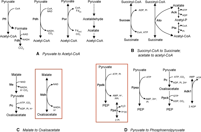 Optimal Equivalent Reactions Sets Studied The sets were identified in the metabolism of G. sulfurreducens using the FVA analysis during acetate oxidation with either fumarate or Fe(III) citrate as the acceptor, (A) pyruvate to acetyl-CoA and (B) succinyl-CoA to succinate; and non-optimal central metabolism alternate pathways studied, (C) the redundant pathways for conversion of malate to oxaloacetate and (D) the pathways for synthesis of phosphoenolpyruvate (PEP) from pyruvate. The energetically favorable pathways selected in the model simulations are enclosed in the red box. Ack, Acetate kinase; Adk1, Adenylate kinase; Ato, Acetyl CoA transferase; Fdh, Formate dehydrogenase; Me, Malic enzyme; Mdh, Malate dehydrogenase; Pc, Pyruvate carboxylase; Pdh, Pyruvate dehydrogenase; Pfl, Pyruvate formate lyase; Por, Pyruvate oxidoreductase; Ppa, diphosphatase; Ppck, Phosphoenolpyruvate carboxykinase; Ppdk, pyruvate phosphate dikinase; Ppsa, PEP synthase; Pta, Phosphotransacetylase; Sucoas, Succinyl-CoA synthetase.