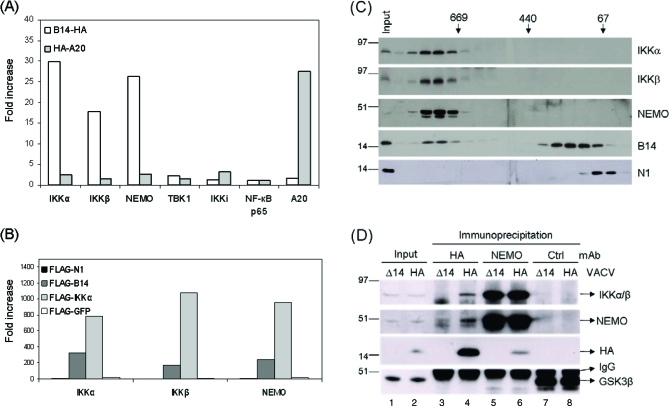 VACV-Expressed B14 Associates with the IKK Signaling Complex Cells were co-transfected with expression vectors for indicated proteins tagged with HA (A) or FLAG (B) epitopes and the indicated protein fused with luciferase. The indicated tagged bait protein was immunoprecipated by correspondent monoclonal Ab and then the immune complex was eluted to be analysed for luciferase activity. Data presented are from one of the three independent experiments. (C) HeLa cells were infected with vB14 and a cell extract was prepared and analysed by size exclusion chromatography on a Superose 6 column. An aliquot of each fraction was separated in 4%–12% NuPAGE and analysed by immunoblotting with the indicated Abs. The position of protein size markers is indicated in kDa at the top. (D) Extracts from HeLa cells infected with the vΔB14 (Δ) or vB14-HA (HA) were pre-cleared and immunoprecipitated with mAbs against HA, NEMO, and <t>GSK3β</t> (isotype control). The immunoprecipitated proteins were resolved in 4%–12% NuPAGE and then were analysed by immunoblotting with the Abs indicated on the right, respectively. Sizes of bands detected are indicated on the left in kDa.