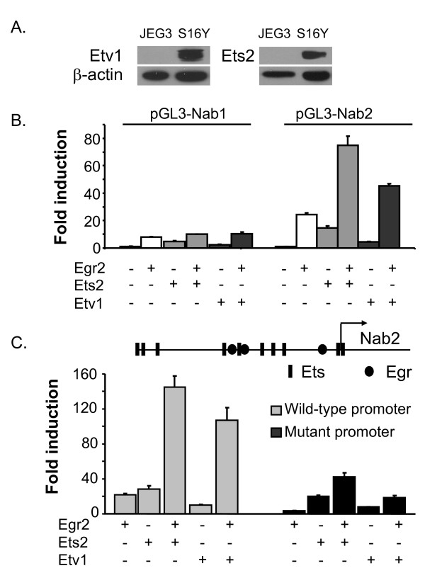 ETS activation of NAB promoters . A) Lysates of the JEG3 and S16Y (Schwann cell) lines were probed with the antibodies directed against Etv1 and Ets2, and respective blots were re-probed with β-actin antibody as a loading control. B) JEG3 cells were transfected with either the <t>pGL3-Nab2</t> or pGL3-Nab1 reporter. Ets2 (25 ng), Etv1 (50 ng), or Egr2 (25 ng) expression plasmids were co-transfected as indicated in each panel. The y-axis shows the fold activation normalized to the activity of the reporter alone. Means and standard deviations of three separate transfections are shown. Average fold induction of the NAB2 promoter by Ets2 and Etv1 in 8 independent transfections was 19.5- and 7.3-fold, respectively (P =