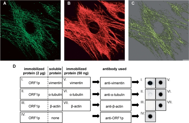 L1Rn ORF1p is able to form filaments that co-align with vimentin filaments. ( A and B ) In situ overlay of recombinant L1-21 ORF1p onto PFA-fixed and Triton X-100-extracted MEFs. Immunofluorescence images of L1Rn ORF1p (A) and vimentin (B) are shown in green and red colors, respectively. Each panel represents the 3D reconstruction of xy confocal sections. ( C ) ORF1p and vimentin filaments co-align partially. The co-localization channel (yellow) was generated using the ImarisColoc module. Scale bar—10 µm. ( D ) Dot blot overlay assay demonstrating interaction of ORF1p with vimentin. ORF1p was immobilized onto a nitrocellulose membrane (dots I–IV). Each ORF1p dot contained 2 μg of protein. After blocking, immobilized ORF1p was overlaid with an excess of soluble vimentin, α-tubulin or β-actin, respectively. Incubation was carried out for 60 min. In order to control for successful immobilization and immunoblotting procedure, 50 ng of soluble vimentin, α-tubulin and β-actin were immobilized on the nitrocellulose membrane in parallel (dots V–VII). Membranes were washed subsequently and submitted to immunoblot analyses with anti-vimentin, anti-α-tubulin or anti-β-actin antibodies, respectively, due to the schematic shown. In contrast to α-tubulin and β-actin, only vimentin can be detected with its specific antibody on the nitrocellulose membrane, after overlaying ORF1p dots with the respective IF protein (dots I–III). This is indicating that only vimentin is binding to ORF1p.