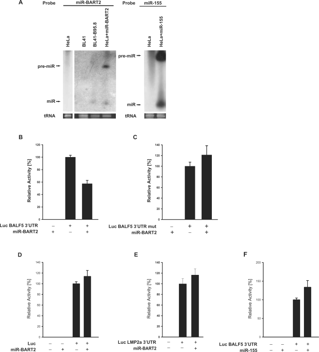 miR-BART2 down-regulates the BALF5 3′UTR. ( A ) Northern blot detection of ectopically expressed miR-BART2 and miR-155 using the indicated probes. RNA extracted from HeLa cells 48 h after transfection with the vector pSG5-miR-BART2 (lane designated 'HeLa+miR-BART2') was analysed in parallel with RNA from BL41 and B95.8 cells (EBV-negative and -positive, respectively). Total RNA of HeLa cells either transfected or untransfected with pSG5-mir-155 was analysed by northern blotting for the expression of miR-155. The positions of the precursor and the mature miRNA are indicated. ( B ) Effect of miR-BART2 on the BALF5 3′UTR. miR-BART2 and the Luc-BALF5-3′UTR reporter were co-expressed in the indicated combinations. The activity obtained with the reporter alone was set to 100%. Graph B represents the mean values of six independent experiments carried out in duplicate (±SEM). ( C ) miR-BART2 and a luciferase reporter containing the BALF5 3′UTR with a deletion of the BART2-recognition site were co-expressed in the indicated combinations and analysed as in (B). ( D ) Effect of miR-BART2 on the parental (empty) vector pGL3-promoter ('Luc'). MiR-BART2 and the pGL3-reporter were co-expressed in the indicated combinations. The activity obtained with the reporter alone was set to 100%. The statistical analysis showed an insignificant effect ( P = 0.257). ( E ) miR-BART2 and a luciferase reporter containing the LMP2A 3′UTR were co-expressed in the indicated combinations and analysed as in (B). The activity obtained with the reporter alone was set to 100%. ( F ) Effect of miR-155 on the pGL3-BALF5 3′-UTR reporter; the reporter alone was set to 100%. The statistical analysis showed an insignificant effect ( P = 0.092). Graphs C, D, E and F represent the mean values of four independent experiments carried out in duplicate (±SEM).