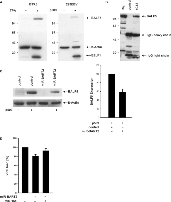 miR-BART2 down-regulates BALF5 polymerase. ( A ) Identification of BALF5 protein using the monoclonal antibody 4C12. Whole-cell extracts of B95.8 B-cells either treated (+) or untreated (−) with TPA were analysed by western blotting as shown in the left panel. The blots were stained with the novel BALF5-specific antibody 4C12, an antibody directed against β-actin as a loading control and BZLF1-specific monoclonal antibody BZ-1 to verify the induction of EBV lytic replication. Detection of BALF5 in EBV-infected 293 cells without (–) and after (+) induction of lytic replication by BZLF1 using the vector p509 ( 18 ) is shown in the right panel. ( B ) Immunoprecipitation of BALF5. Extract of TPA-treated Raji cells was incubated either with BALF5-specific antibody 4C12 or irrelevant isotype control as indicated. Immune complexes were collected using protein G Sepharose (Amersham-Pharmacia). The precipitated BALF5 protein was analysed in a western blot using 4C12 as primary antibody; bound antibody was visualized by the ECL method; the lanes designated 'Raji', shows whole-cell extract prior to precipitation. ( C ) Reduction of BALF5 protein levels by miR-BART2. 293-EBV cells were transfected with BZLF1 expression vector p509 in combination with miR-BART2 expression vector or pSG5 control. BALF5 protein was stained using the monoclonal antibody 4C12, β-actin served as a loading control (left panel); statistical analysis of the BALF5 protein reduction by miR-BART2. The amount of BALF5 protein with or without BART2 expression from three independent assays as shown in (C) was determined and statistically analysed. The reduction of 30–40% after co-expression of miR-BART2 was statistically significant (right panel; P = 0.0037). ( D ) Reduction in virus load by miR-BART2. Viral replication in 293-EBV cells was induced by expression of BZLF1 using the vector p509. The amount of virus released was determined by quantitative real-time PCR. The value obtained by co-transfection of t
