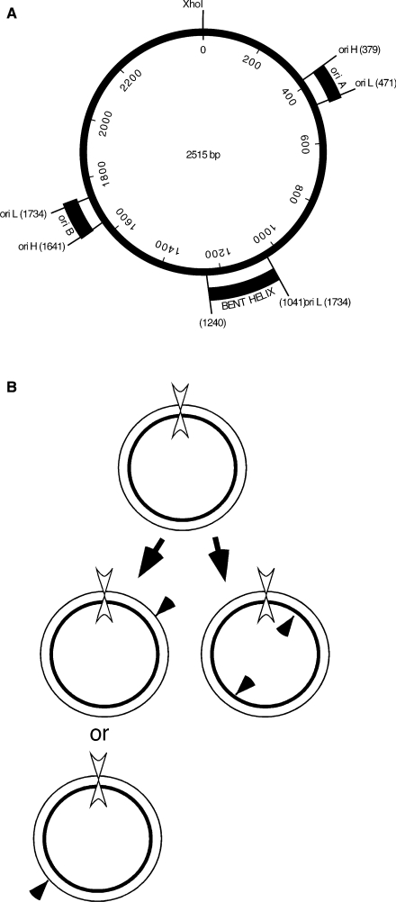 ( A ) Physical map of C. fasciculata minicircle DNA ( 36 ). The two-replication origins, oriA and oriB, are located 180° apart on the circular DNA. Specific nicks in nicked circular (form II) minicircles identified in free minicircles replicated in an isolated kinetoplast system define the initiation sites of the leading L strand and the initiation sites of the first H-strand Okazaki fragment at each origin ( 23 ). The nucleotide coordinates are indicated for the specific nicks in the H and L strands. The region from 1041 to 1240 nt has been shown to confer a static bend in the DNA ( 42 ) and is referred to as a bent helix. ( B ) Crithidia fasciculata minicircle replication schematic. Thin line, L strand; thick line, H strand; filled arrowheads, specific nicks; double arrowhead, XhoI site.