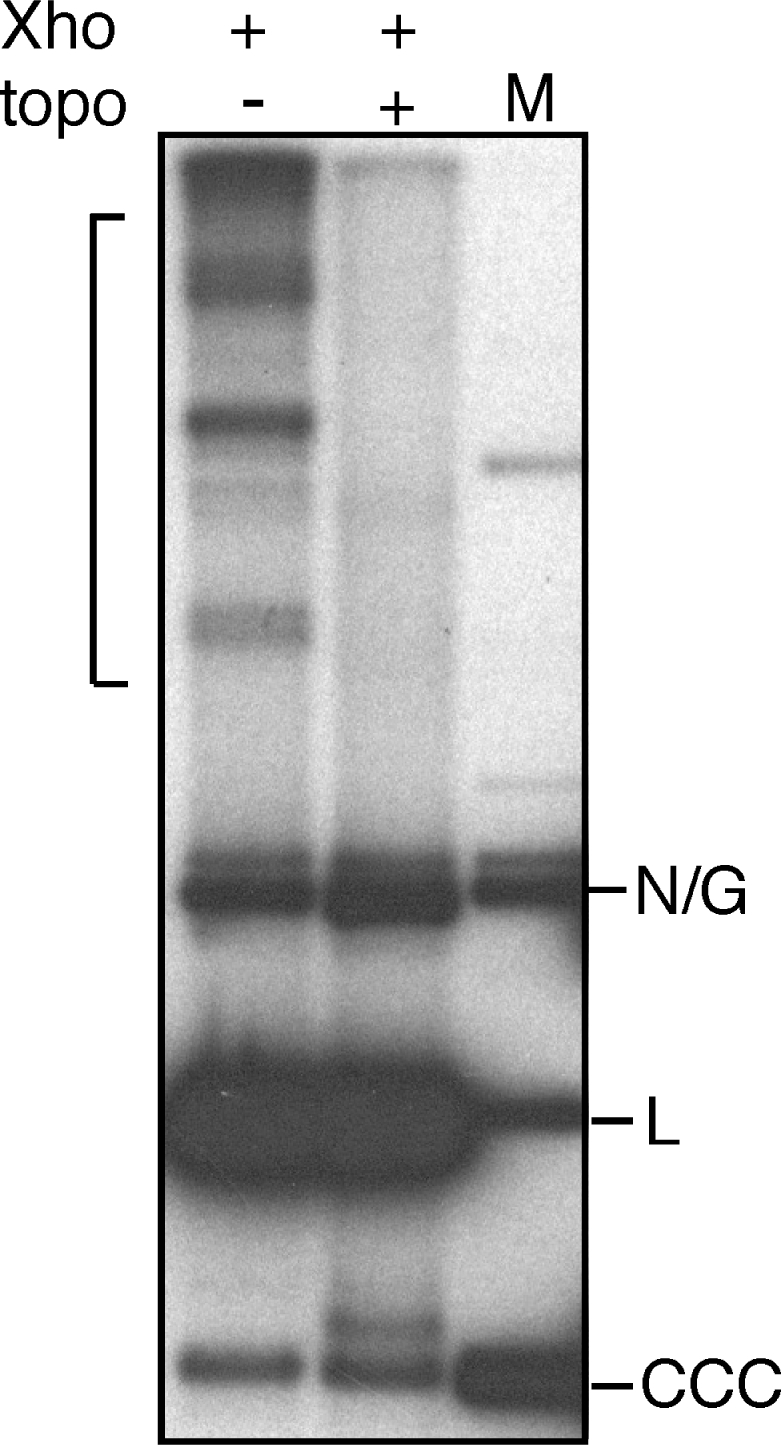 Topoisomerase decatenation of XhoI-resistant catenated minicircle molecules. Purified kDNA prepared at 300 min was digested with XhoI and one-half was additionally treated with a type II DNA topoisomerase prior to neutral gel electrophoresis and Southern blotting using a minicircle probe. Catenated minicircles are indicated by a bracket. N/G, nicked or gapped minicircle DNA; L, unit-length linear minicircle DNA; CCC, covalently closed circular minicircle DNA.