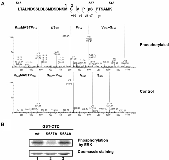 Analysis of phosphorylation site. ( A ) MS/MS spectrum of the doubly charged ion of the peptide including S537. CTD of PAP (residues 488–739) was overexpressed in E. coli and purified. The purified CTD was phosphorylated by ERK using 10 mM ATP in vitro . The untreated (control) and phosphorylated CTD forms were excised from gel and compared by Q-TOF MS/MS analysis. The sequence annotations above the spectra correspond to the y-ion fragment series. The sequences (C- to N-terminus) within the spectrum correspond to the signals indicated by the vertical lines. ( B ) The wild-type GST-CTD (lane 1) and mutants S537A (lane 2) and S534A (lane 3) were expressed in E. coli and purified. The purified GST–CTD proteins were phosphorylated by ERK in vitro using [γ- 32 P]ATP. Phosphorylated band were visualized by autoradiography after SDS-PAGE. Input proteins (200 ng) were also visualized by Coomassie staining.