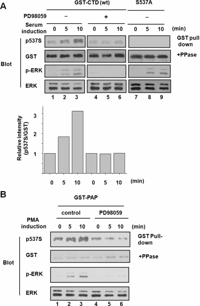 Phosphorylation of serine 537 by stimulation of ERK in vivo . ( A ) HeLa cells were transfected with GST–CTD (residues 472–739) (lanes 1–6) and its S537 mutant (lanes 7–9). Cells were cultured in serum free media for 12 h and then stimulated with 20% serum (lanes 1–3 and 7–9) or 20% serum containing PD98059 (50 μM) (lanes 4–6) for the indicated time (lanes 1, 4 and 7, 0 min; lanes 2, 5 and 8, 5 min; lanes 3, 6 and 9, 10 min). To examine the phosphorylation status of serine 537, GST pull-downed complexes were visualized by immunoblot with anti-phosphoserine 537 antiserum. Activation of ERK in total lysates was confirmed by immunoblot with anti-p-ERK antibody. The phosphorylation signals were quantified against the amount of GST-CTD treated with λ protein phosphatase, and shown below the the immnoblots. ( B ) HeLa cells were transfected with full-length GST-PAP. PMA alone (lanes 1–3) or with PD98059 (50 μM) (lanes 4–6) was added to 100 ng/ml at 12 h after transfection and the cells were further incubated (lanes 1 and 4, 0 min; lanes 2 and 5, 5 min; lanes 3 and 6, 10 min). GST pull-downed complexes from the cell lysates were visualized by immunoblot with anti-phosphoserine 537 antiserum. The amounts of GST-CTD present in the lysates were evaluated with anti-GST antibody after the treatment with λ protein phosphatase.