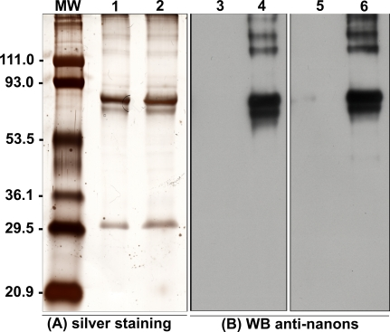 Silver-Stained SDS-PAGE and Western Blot Analysis of Nanon Proteins (A) Silver staining of 2.5 μg (lane 1) or 5 μg (lane 2) of nanon extract subjected to 10% SDS-PAGE. (B) Western blot performed with two distinct mouse anti-nanon antibodies (1:2,500). Lanes 3 and 5, pre-immune sera; lane 4, mice 1; lane 6, mice 2. Molecular weight markers (MW) are on the left side.