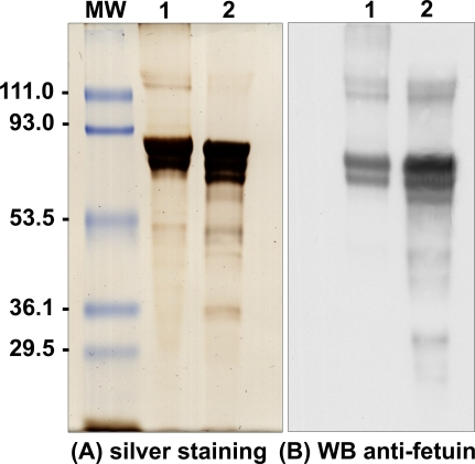 Comparative SDS-PAGE and Western Blot Analysis of Nanon Proteins and Fetuin Nanon proteins and bovine fetuin resolved by 10% SDS-PAGE were visualized by silver staining (A) or transferred to nitrocellulose before probing with the mouse anti-bovine fetuin antibodies (1:10,000) (B). Lane 1, nanons (5 μg); lane 2, bovine fetuin (5 μg). Molecular weight markers (MW) are indicated on the left.