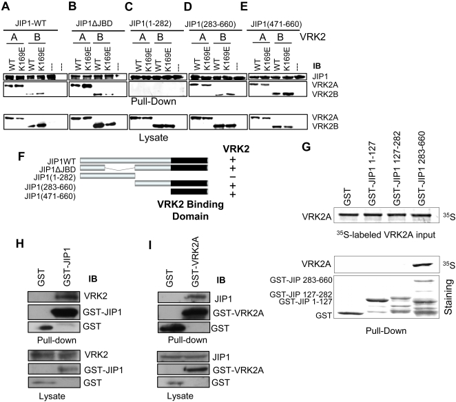 Mapping the region of JIP1 that interacts with VRK2 isoforms. (A–F). Cos1 cells were transfected with plasmids as indicated in the corresponding lane. The expression of the proteins was determined by western blot (bottom panel). The different lysates were pulled down with Glutathione-Sepharose to bring down the GST-JIP1 protein and associated molecules. The pull-down proteins were detected with antibodies that recognize the HA epitope in the VRK2 proteins. The constructs derived from VRK2 includes the two isoforms expressed from plasmids pCEFL-HA-VRK2A and pCEFL-HA-VRK2B as well as their catalytically inactive kinase-dead (KD) variants containing the K169E substitution. JIP1ΔJBD lacks the JNK binding domain (residues 127-282). (G). In vitro interaction between human VRK2 and JIP1 proteins. The human VRK2 protein was in vitro transcribed-translated and labeled with 35S methionine. This protein was used for a pulldown assay with bacterially expressed GST-JIP1 constructs. (F). Schematic representation of the GST-JIP1 proteins used in the pull-down assay and the interacting region with VRK2. (H). Binding of endogenous VRK2A to GST-JIP1. Cos1 cell were transfected with pCEFL-GST or pEBG-GST-JIP1, and the proteins in the pull-down were identified with a specific polyclonal antibody for VRK2 and GST. (I). Binding of endogenous JIP1 protein to GST-VRK2A. Cos1 cells were transfected with pCEFL-GST or PCEFL-GST-VRK2A. The JIP1 protein in the pull-down was detected with a specific polyclonal antibody.