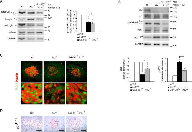 Effects of Inhibition of Gsk-3β Activity on Pdx1 and p27 kip1 Expression in Islets from Irs2 −/− Mice Islets were isolated from 6 wk-old WT, Gsk-3β +/− Irs2 −/− , and Irs2 −/− mice. (A) Western blot analysis with anti-total Gsk-3, anti-phospho glycogen synthase, anti-phospho Akt (S473), anti-total Akt, and β-actin. Representative results of four independent experiments are presented. Densitometry of phosphorylation of Akt (S473) was measured and normalized over total Akt. Mean values ± S.E.M. are summarized on the graph. A single asterisk (*) indicates p