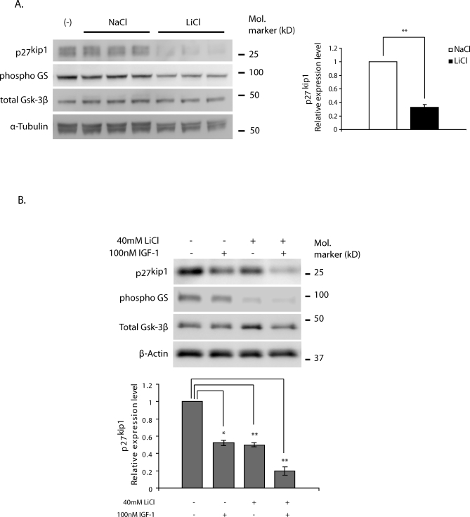 Effects of Inhibition of Gsk-3 Activity on Protein Stability of p27 kip1 (A) MIN6 cells were pretreated with either 40 mM lithium chloride (LiCl) or 40 mM NaCl in DMEM with 15% FBS for 1 h and were cotreated with 25 μg/ml cyclohexamide and lithium or NaCl for 4 h. The lysates were subjected to western blot analysis with anti-p27 kip1 , phospho-glycogen synthase, total Gsk-3β, and α-tubulin. Densitometry of p27 kip1 was measured and normalized over α-tubulin. (B) Islets isolated from 16-wk-old WT mice were deprived of serum for 4 h and were incubated with no addition, or with addition of 100 nM IGF-1, or 40 mM LiCl, or both for 3 h. Lysates were then prepared from islets and were subjected to western blot analysis with anti-p27 kip1 , anti-phospho glycogen synthase, anti-total Gsk-3β, and β-actin. Representative results of three independent experiments are presented. Densitometry of p27 kip1 was measured and normalized over β-actin. Mean protein levels ± S.E.M. are summarized on the graph. A single asterisk (*) indicates p