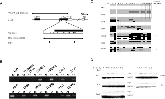 Methylation status of VILIP-1 promoter in NSCLC cell lines. A. Schematic map of VILIP-1 2kb promoter and CpG islands around exon1. Filled boxes, CpG islands. Open boxes, exons. Vertical ticks, CpG sites on the expanded axis. Start of exon 1 is marked at +1. TSS, translation start site (ATG start codon). B. MSP analysis of cell lines. Bands in lanes M are methylated, bands in lanes U are unmethylated. H 2 O: water was added instead of DNA; Untreated DNA: genomic DNA without treatment with sodium bisulfite; NHBE 1 and NHBE 2: DNA from two different individuals. C. Representative results of bisulfite sequencing of the second CpG island of VILIP-1 promoter in VILIP-1-expressing cell lines (+) and VILIP-1-nonexpressing cell lines (−). Open and filled squares indicate unmethylated and methylated CpG sites, respectively. Six to eight clones of PCR products amplified from bisulfite-treated genomic DNA were sequenced for each cell line. D. Reactivation of VILIP-1 expression by 5′-Aza-dC treatment in cell lines. VILIP-1 protein expression was determined by immunoblot analysis. GAPDH was included as a control for equal loading.