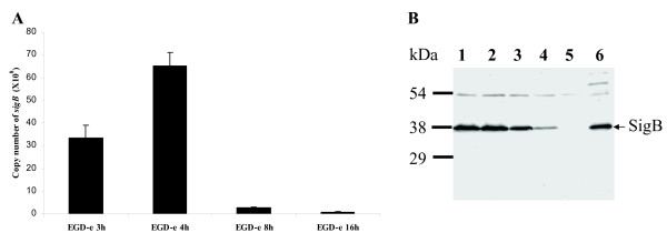 (A) Copy number of the sigB gene in L. monocytogenes EGD-e grown in BHI medium for 3 h, 4 h, 8 h and 16 h. Data shown here is representative of three independent biological replicates. (B) Immuno-blot analysis quantifying σ B from L. monocytogenes EGD-e at different growth phases. Proteins were isolated from cultures of L. monocytogenes EGD-e grown for 3 h (lane 1), 4 h (lane 2), 8 h (lane 3) and 16 h (lane 4) in BHI at 37°C and σ B was detected using rabbit polyclonal anti-serum produced against S. aureus COL σ B . The L. monocytogenes Δ sigB deletion mutant (lane 5) was used as negative control and S. aureus COL (lane 6) was used as positive control for specific binding of the antibody. Molecular masses (in kilodaltons) of prestained SDS-PAGE standard marker (Bio-Rad) are indicated on the left and σ B is marked on the right.