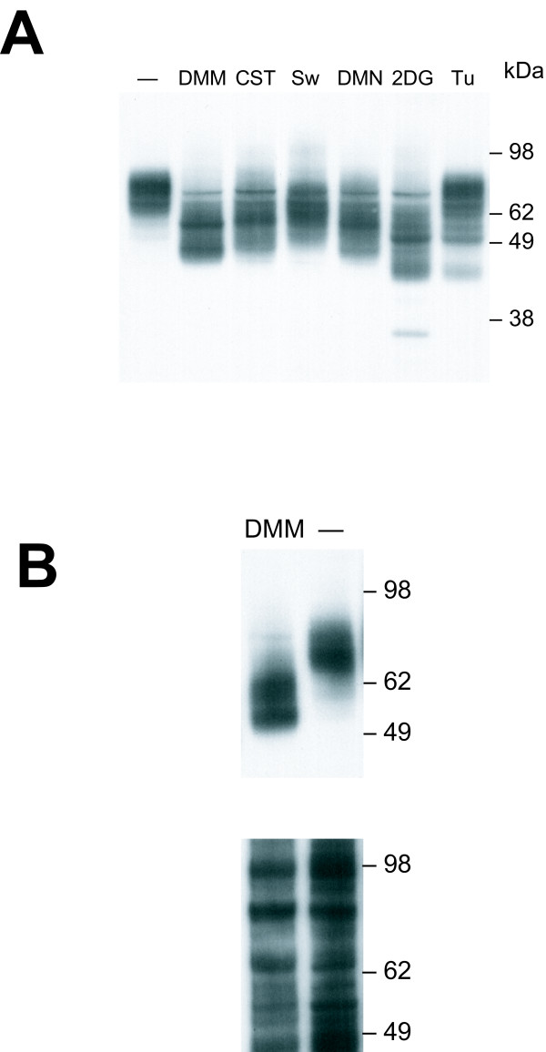 Effect of glycosylation inhibitors on expression of HA-tagged mCAT-1 in M. dunni cells. (A) Immunoblot analysis of lysates prepared from cells treated for 3 days with the indicated inhibitors: DMM, CST, Sw, DMN (65 μg/ml); 2DG (10 mM); Tu (0.125 ug/ml). (B) Immunoblot of surface biotinylated proteins from DMM-treated and untreated cells. The upper panel was probed with anti-HA; the lower panel shows the same blot stripped and reprobedwith streptavidin-HRP to show that surface biotinylation and protein loading were approximately equal.
