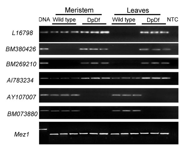Validation of severe expression changes detected by expression profiling . For six of the genes with the greatest alteration in gene expression changes, the expression levels were validated in two tissue types from three different wild type and three different DpDf sibling plants by semi-quantitative RT-PCR. L16798, BM380426, BM269210 and AI783234 are examples of increased expression in DpDf plants while AY107007 and BM073880 are examples of decreased expression in DpDf plants. Mez1 is used as a loading control. The first lane is a genomic DNA control while the last lane is a no template control (NTC).