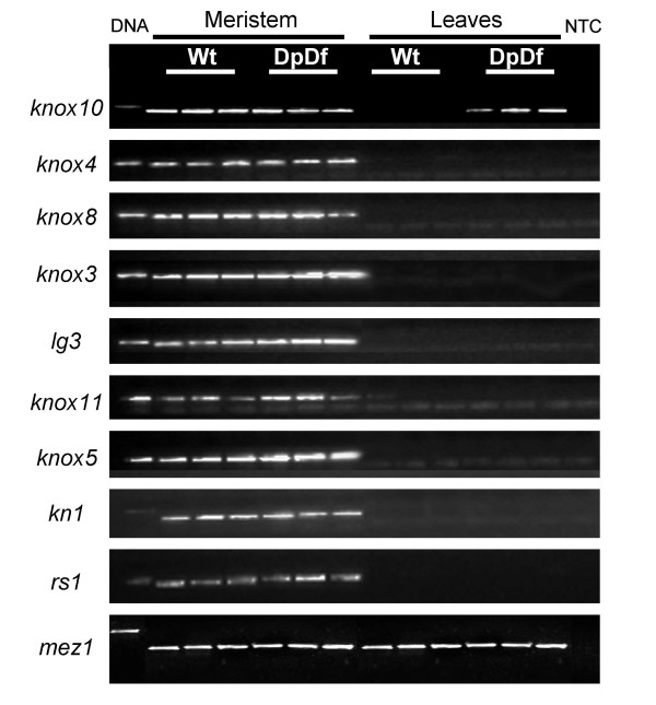 Knox10 gene is the only knotted-like gene ectopically expressed in leaves of DpDf plants . Expression of nine knotted-like maize genes was tested in meristematic and leaf tissue in wild type and DpDf plants using RT-PCR. Leaf and meristematic tissue was isolated from three seedlings for each of the genotypes. Mez1 gene was used as a control to equalize the cDNA concentrations for all the samples. The tissue type and genotype are indicated above the gel images. The first lane is a genomic DNA control while the last lane is a no template control (NTC). Control reactions were also performed on a no reverse-transcriptase control (data not shown).